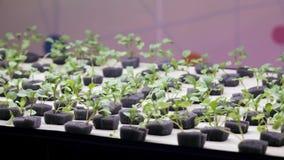Piantine di nuove piante in laboratorio hydroponics stock footage