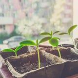 Piantine di piantatura adeguate del cetriolo sul giardino ecologico Piantine crescenti per il giardino urbano sul davanzale Giorn fotografia stock libera da diritti
