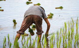 Piantine di trapianto del riso dell'agricoltore nella risaia Immagini Stock