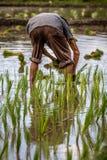 Piantine di trapianto del riso dell'agricoltore nella risaia Fotografia Stock Libera da Diritti