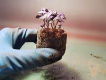 Piantine - piantine molto belle del basilico in un vaso in una mano gloved fotografia stock