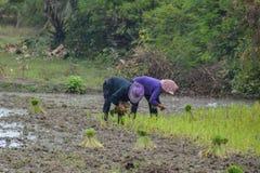 Piantine nel giacimento del riso Immagini Stock Libere da Diritti