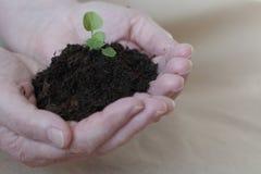 Piantine nelle mani di agricoltura Immagine Stock