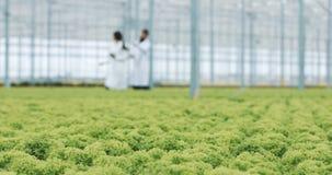 Piantine organiche fresche della lattuga in una serra Una siluetta di due assistenti di laboratorio che camminano nel fondo video d archivio