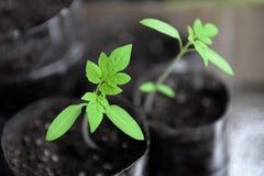 Piantine per la piantatura sul giardino fotografia stock libera da diritti