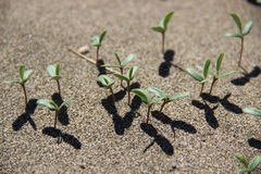 Piantine su una duna di sabbia Immagini Stock Libere da Diritti