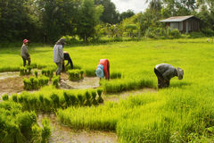 Piantine tailandesi del riso della preparazione dell'agricoltore Immagine Stock Libera da Diritti