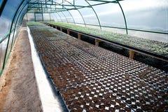 Piantine in una serra incurvata Fotografia Stock