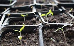 Piantine in vasi a casa Piantine in anticipo sviluppate dai semi in scatole a casa sul windowsil Semenzale verde che cresce dal t fotografia stock
