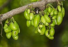 Pias souree,citrus fruit Stock Images