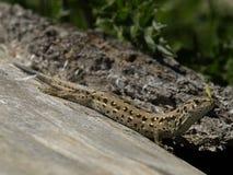 Piasek jaszczurka (Lacerta agilis) Fotografia Stock