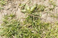 Piasek Jaszczurka (Lacerta agilis) Fotografia Royalty Free