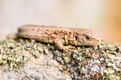Piasek Jaszczurka (Lacerta agilis) Obraz Stock