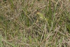 Piasek jaszczurka - Lacerta agilis- dopatrywanie Zdjęcie Stock
