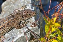 Piasek jaszczurka (lat Lacerta agilis) Zdjęcie Stock