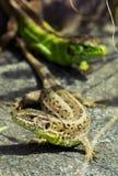 Piasek jaszczurki zdjęcia stock