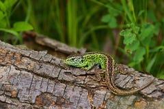 Piasek jaszczurki Lacerta agilis, samiec w kotelni barwią Zdjęcia Stock