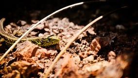 Piasek jaszczurki samiec na powulkanicznych skałach Fotografia Royalty Free