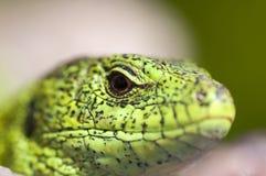Piasek jaszczurki samiec zakończenie up (Lacerta agilis) Zdjęcia Stock