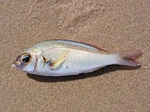piasek ryb Obrazy Royalty Free