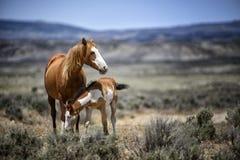 Piaska obmycia basenu dzikiego konia czułość Obraz Royalty Free