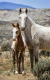 Piaska obmycia basenu dzikiego konia pionowo rodzinny portret Obrazy Stock