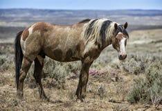 Piaska obmycia basenu dzikiego konia portret Zdjęcia Stock