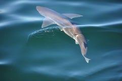 Piaska rekinu dopłynięcie w oceanie Zdjęcia Royalty Free