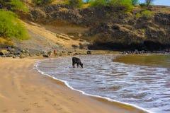 Piaskowatej plaży brzeg, Czarna łydka Pije Słoną wodę, Naturalny świat, podróż Afryka Zdjęcie Royalty Free
