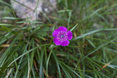 Piatra Craiului Pink (Dianthus callizonus) Royalty Free Stock Photo