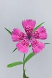 Piatra Craiului Pink (Dianthus callizonus) Royalty Free Stock Image