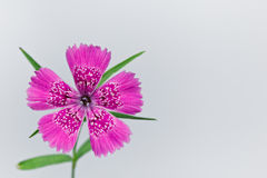 Piatra Craiului Pink (Dianthus callizonus) Royalty Free Stock Images