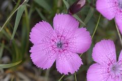 Piatra Craiului Pink Dianthus callizonus Stock Photography