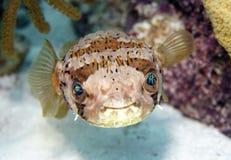 Piatto del pesce palla Fotografie Stock