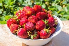 Piatto pieno delle fragole fresche sulla tavola contro lo sfondo delle piante di fragola del campo Immagine Stock