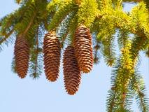 Picéa abies - des cônes de sapin de Norvège un printemps de branche Image libre de droits