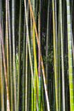 Bamboo in the forest Stock Photo