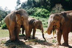 Elephant in Chiang MAI (Thailand) royalty free stock photo