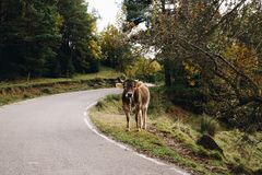 Cow in the forest landscape royalty free stock photography