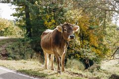 Cow in the forest landscape royalty free stock photo