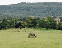 Cows Eating Grass in the Pyrenees Mountains royalty free stock image