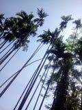 Pic dell'albero Immagine Stock Libera da Diritti