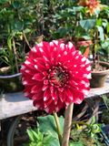 Red flower in morning royalty free stock photo