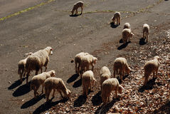 Sheep on the road Stock Photography