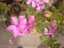 Pic naturale dei fiori Fotografie Stock Libere da Diritti