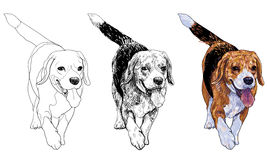 Running Beagle Royalty Free Stock Photo