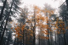 Autumn Tree in the middle of a winter forest royalty free stock image