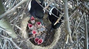 Pica di pica Il nido della gazza Fotografie Stock Libere da Diritti