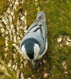 Pica-pau-cinzento 2 Fotos de Stock