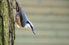 pica-pau-cinzento fotografia de stock